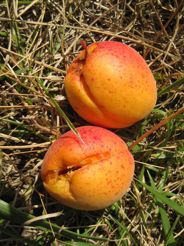 Li viel mèno – Abricot d'Ispagnac