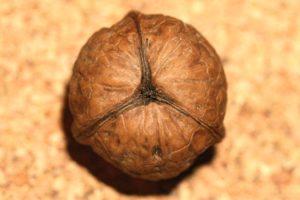 Une nouvelle variété de noix découverte en lozère