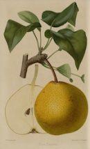 Poire_Esperen_La_Revue_Horticole_1861_ML